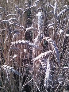 Канадские семена ячменя и пшеници (двуручки) 1реп.