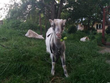 Продам козлика породи ламанча