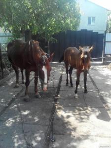 Продам жеребенка ,из больших хороших лошадей турійців