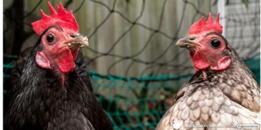 курчата, яйця