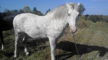 Продам коня 13років