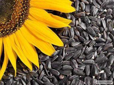 Продам соняшник олійний