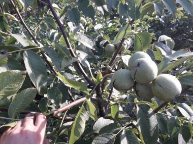 Продам саженцы грецкого ореха сорт Идеал и Кочерженко