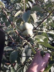 Продам саджанці грецького горіха сорт Ідеал і Кочерженко
