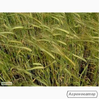Семена ржи озимой - сорт Хлебное, 1-я репродукция