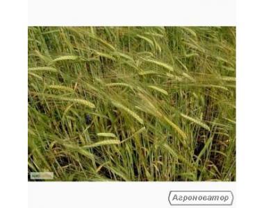 Насіння жита озимого - сорт Хлібне, 1-а репродукція