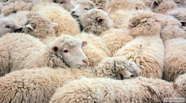 Продаж овець