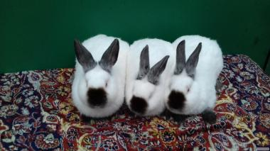 кроликов породы
