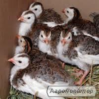 Инкубационные яйца и племенные цесарки