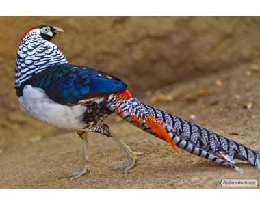 продам фазанів різних видів