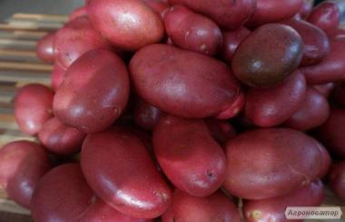 Продам картофель столовый