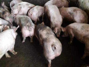 продаю свиней живым весом