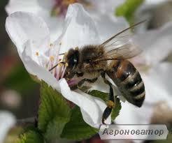 Продажа меченых плодных молодых пчеломаток Украинской степной породы