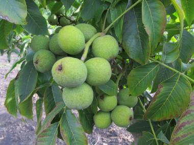 Саженцы грецкого ореха , сокроплодных форм