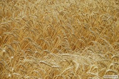 озимая пшеница Миссия Одесская (элита)