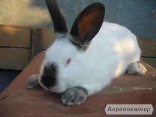 Продам кроликів породи Каліфорнія