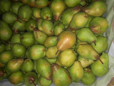 Продам грушу сорту  Яблунівська.