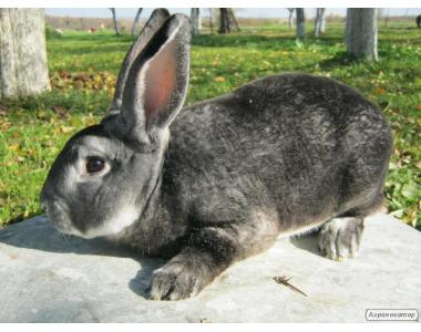 кролі шиншила-рекс