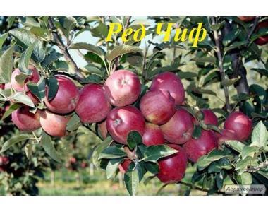 Саджанці яблуні сорту Ред Чіф, від виробника, відмінної якості