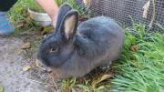 Кролики-Венские