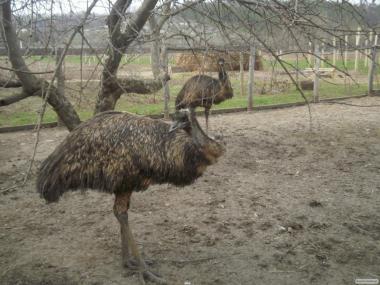 Продам страусов Эму