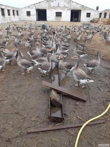 Крупная серая гуси