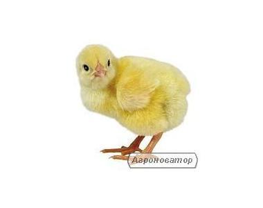 Реализую суточные и подрощенные цыплята