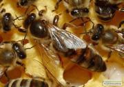 Плодные меченые пчелиные матки украинской степной породы пчел