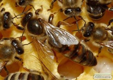 Плодные меченые пчелиные матки украинской степной породы пчел 2017г.