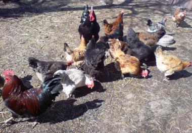 Продам инкубационное куриное яйцо ( Джерсийский гигант + микс)