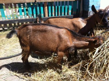 Кози, Цапки на плем'я. 50% Французько-Альпійські.