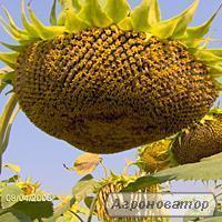 семена подсолнечника -Солнечное настроение (98 – 103 дн)
