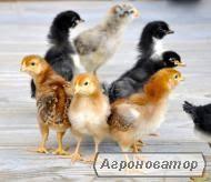 Продам бройлера, цыплят, утят