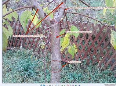 Лента для окулировки и прививки фруктовых деревьев