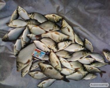 Продам за рибок карпа