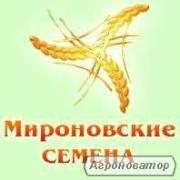 """Продам насіння гречки: сорти """"Дикуль""""; Дев'ятка"""", 1 репродукція."""