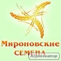 Семена гречихи сорта Девятка; Украинка, 1 репродукция, элита.