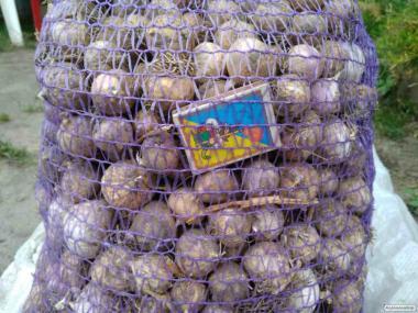 Продаем посадочный материал чеснока ( сорт Любаша)