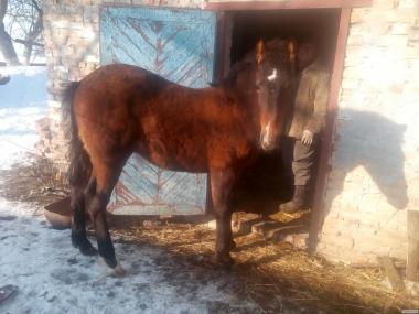 Продам коня 7міс. 8й пішов .ціна 7000 грн.