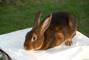 Кролик Рекс Кастор
