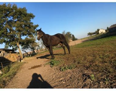 Верховые лошади породы Чистокровная верховая