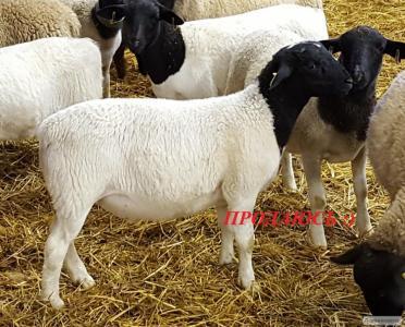 Продам вівці породи Дорпер
