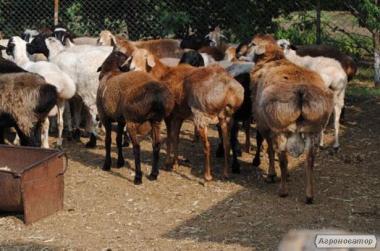 Куплю овец курдючной пароды, живым весом и на мясо.