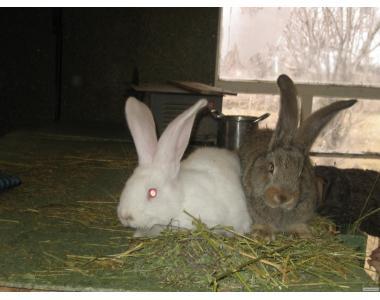 Молодняк племенных кроликов