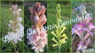 Канны крупноцветковые