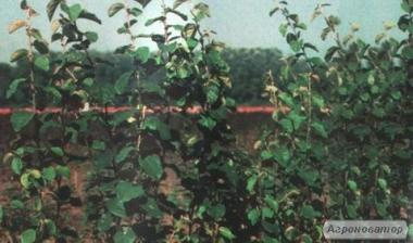 Саджанці карликової підщепи для груші та айва ІС-2-10 дворічні