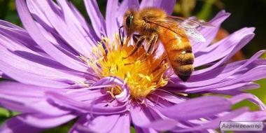 Продам гарні бджолопакети.Сумська обл.