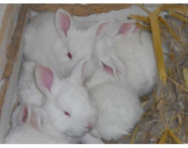 кролі   порід  білий панон , полтавське срібло