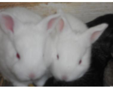 кролики пород белый панон , полтавское серебро