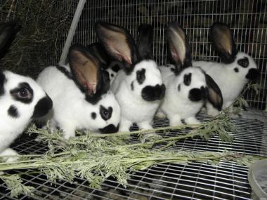 Кролики Немецкий строкач